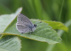 Small Blue