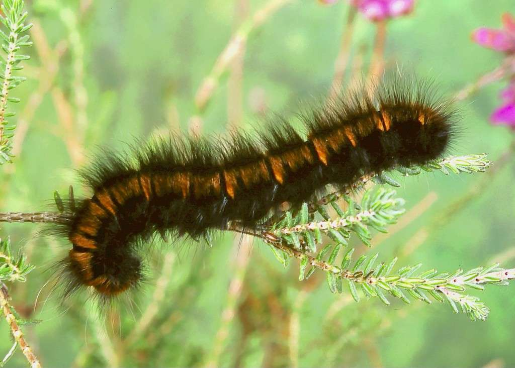 Caterpillars East Scotland Branch Butterfly Conservatione