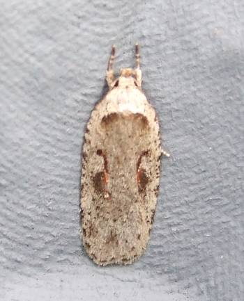 Agonopterix ocellana (Red-letter Flat-body)