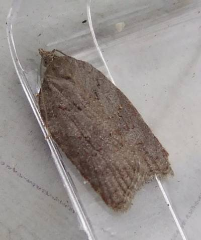 Acleris sparsana (Ashy Button)