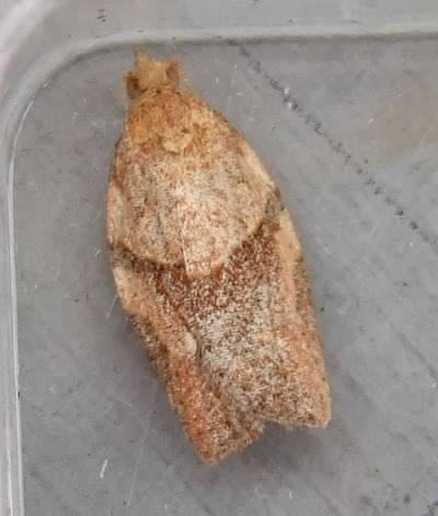 Epiphyas postvittana (Light Brown Apple-moth)