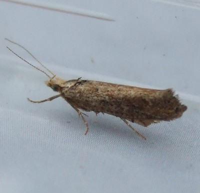 Ypsolopha ustella (Variable Smudge)