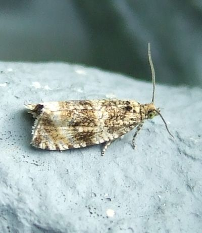Celypha lacunana (Common Marble)