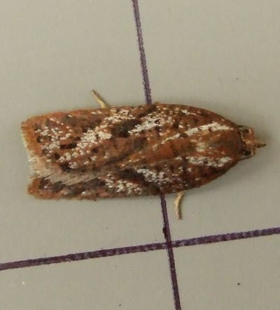 Acleris hyemana (Heath Button)