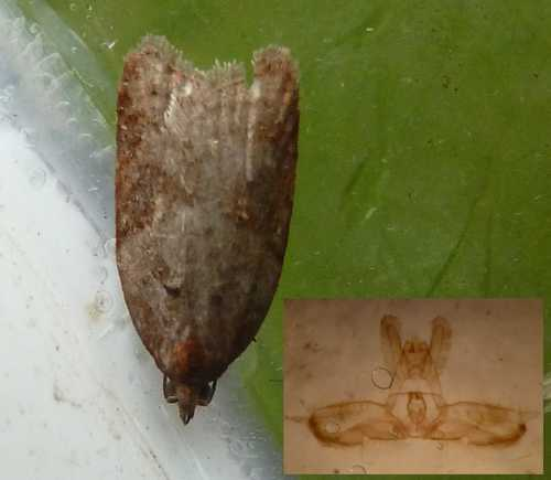 Acleris laterana (Dark-triangle Button)