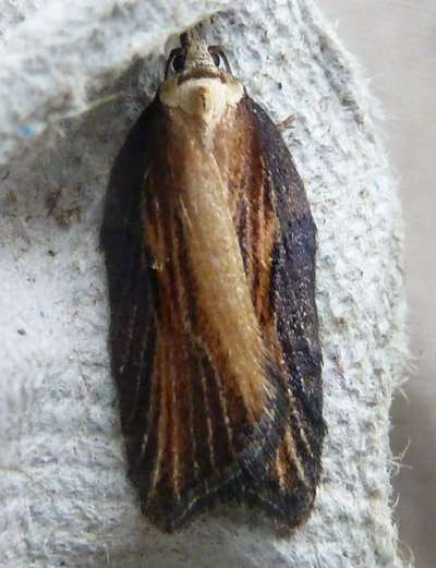 Acleris hastiana (Sallow Button)